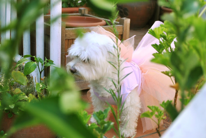 Dog fairy dress